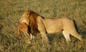A lion carrying a gazelle